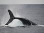 Humpback Whale Samana Bay